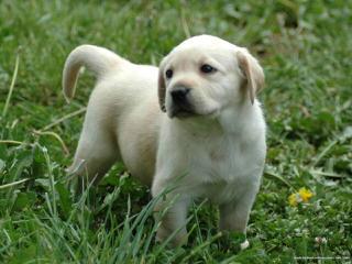 Chamberlain's Retievers - Dog Breeders