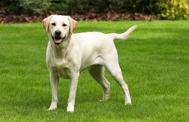 Blue Moon Labradors - Dog Breeders