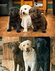 Countryview Labrador Retrievers - Dog Breeders