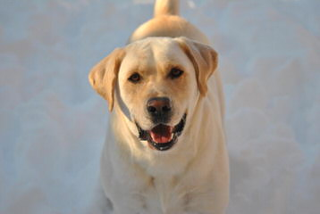 Beautiful Lab/Retriever Puppy - Dog Breeders
