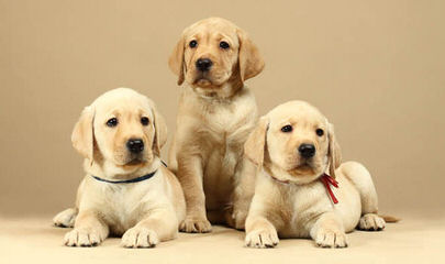 Mateer Labrador Retrievers - Dog and Puppy Pictures