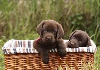Superior Chololate Labs For Sale - Dog Breeders