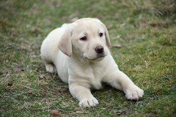 Rippling Spring Puppies, Labs That Will Warm Your Life - Dog Breeders