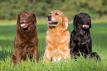 Beautiful Lab/Retriever Puppy - Dog Breeders
