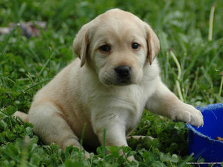Leishmans Loveable Labs - Dog and Puppy Pictures