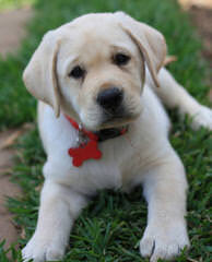 Prof Trained Working Lab Puppies For Sale - Dog Breeders
