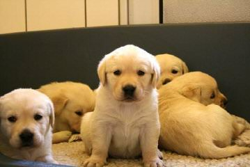 Legacy Labradors at BoulderCrest - Dog and Puppy Pictures