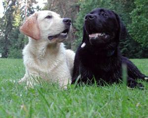Northern Michigan Labradors - Dog Breeders