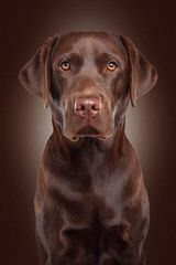 Mirage Labrador Retrievers - Dog Breeders