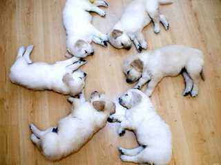 Apple Blossom Labradors - Dog Breeders