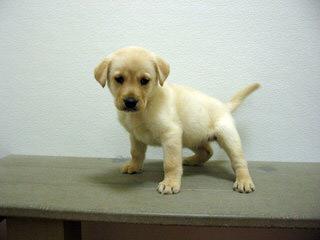 Power of 3 Labradors - Dog Breeders