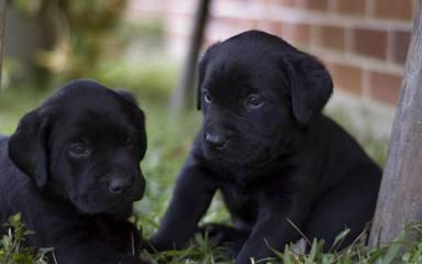 high hopes ranch labradors - Dog Breeders