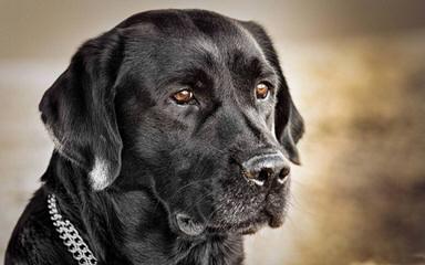 Attala Labs - Dog Breeders