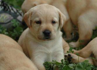 Magnolia Branch Labs - Dog Breeders