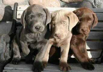 Clover Ranch - Dog Breeders