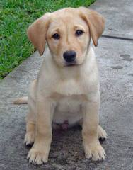 Power of 3 Labradors - Dog and Puppy Pictures