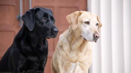 Blackfork Labradors - Dog Breeders