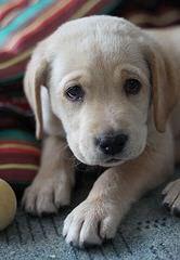 Legacy Labradors at BoulderCrest - Dog Breeders