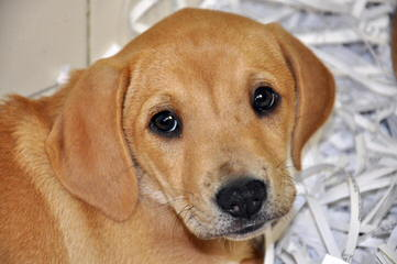 Northern Michigan Labradors - Dog Breeders