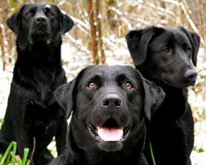 Chocolate Labradors At Stud. - Dog Breeders