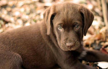Trinity Labrador Retrievers - Dog Breeders