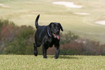 Feltner Family White Labs - Dog Breeders