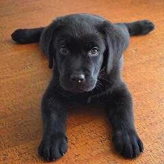 Akc White Lab Puppies - Dog Breeders