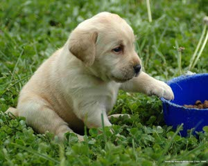 high hopes ranch labradors - Dog and Puppy Pictures