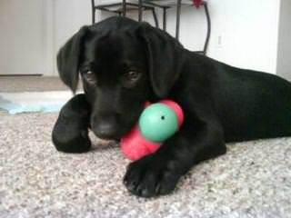 Mac Labs of Arizona - Dog Breeders