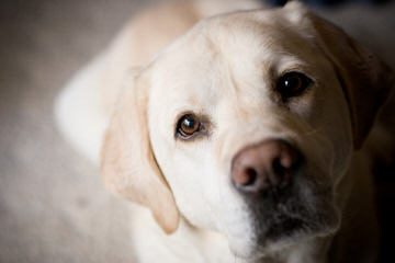 Yellow Labs - Dog Breeders