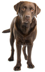 Trinity Labrador Retrievers - Dog Breeders
