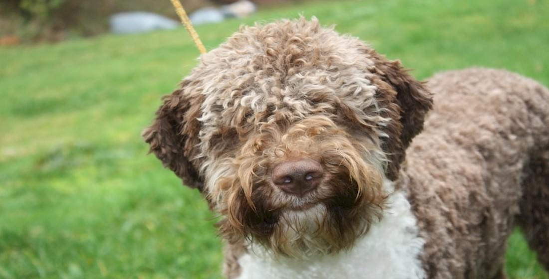 Lagotto Romagnolo Dogs and Puppies