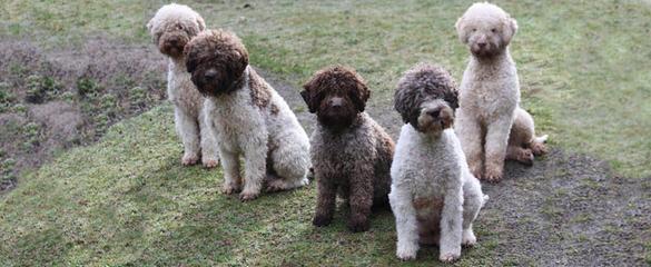 Lagotto Romagnolo of Canada - Dog Breeders