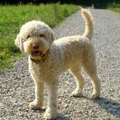 Lagotto Romagnolo - Dog Breeders