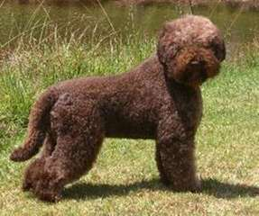 Lagotto Romagnolo Breeder - Dog and Puppy Pictures