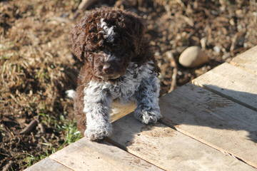 Lagotto Romagnolo Breeding - Dog Breeders
