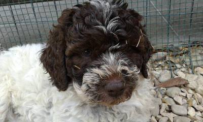 Lagotto Romagnolo For Families - Dog Breeders
