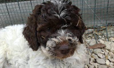MiaBella Kennels - Dog Breeders