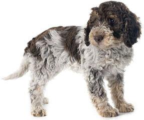 Lagotto Romagnolo Breeder - Dog Breeders