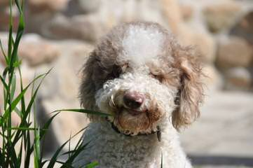 Luv-A-Lagotto - Dog Breeders