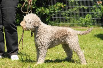 Lagotto Romagnolo For Families - Dog and Puppy Pictures