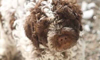 Lagotto Romagnolo Breeding - Dog Breeders