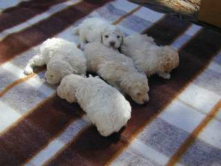 Lagotto Romagnolo Breeder - Dog Breeders