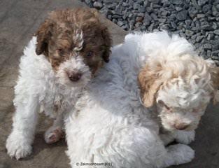 Comacchio Lagotti - Dog Breeders