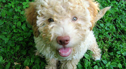 Lagotto Romagnolo of Canada - Dog Breeders