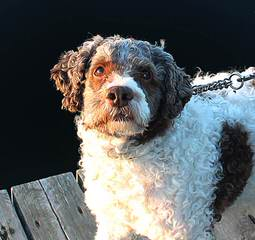 Wildrose Lagotto - Dog and Puppy Pictures