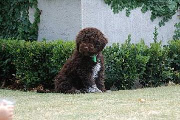 Luv-A-Lagotto - Dog Breeders