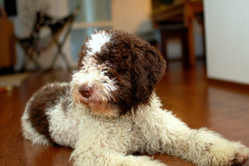 Wildrose Lagotto - Dog Breeders