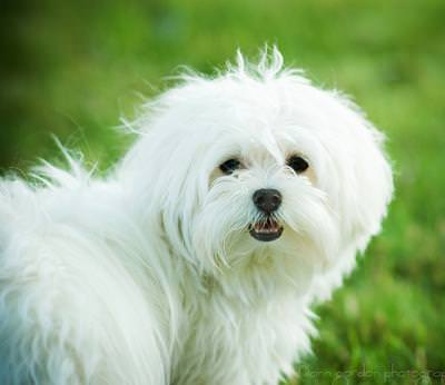 Maltese Dogs and Puppies