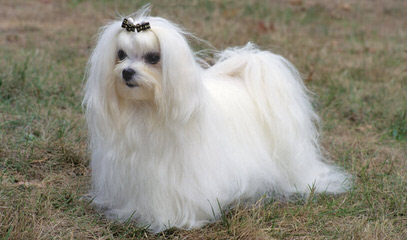Maltese Puppies For Sale - Dog Breeders